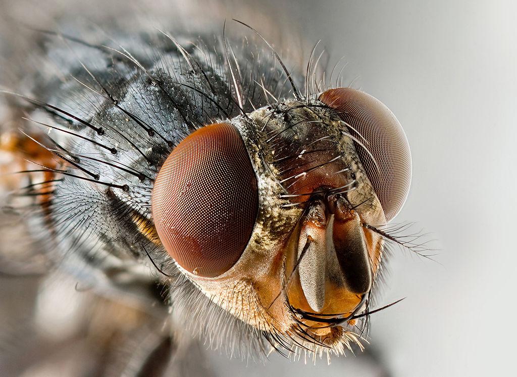 Sarcophagid_fly_Portrait